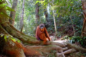 Orangutan in the jungle in sumatra